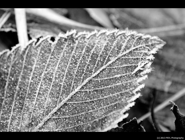 Frost-tipped leaf