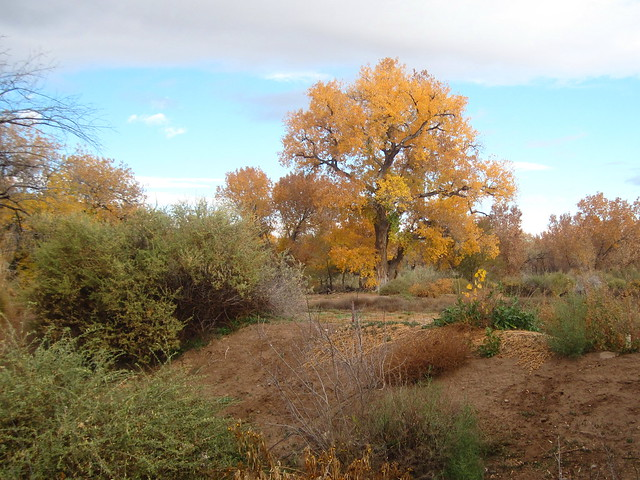 Cottonwood tree at Rio Grande Nature Center 20131105