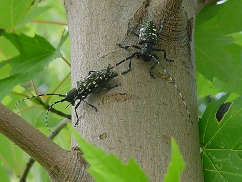 Two Asian longhorned beetles on maple tree