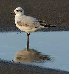 1st winter MED GULL Radipole 271213 by davidearlgray