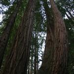 Curvy Redwoods