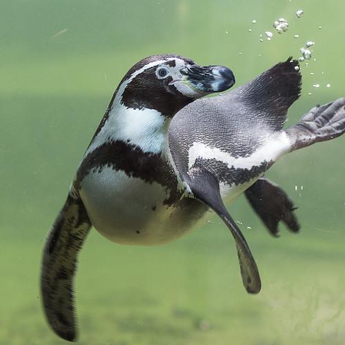 Humboldt Penguin by Aaran_B
