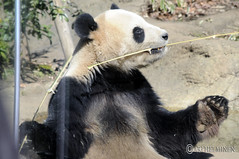 Panda with tasty bamboo 恩賜上野動物園 Ueno Zoo Tokyo