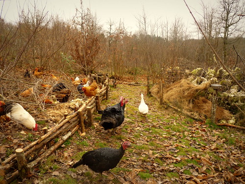 hugelkultur beds with chickens helping