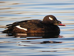 White-winged Scoter/ Lake Isabella/ 2-8-2014