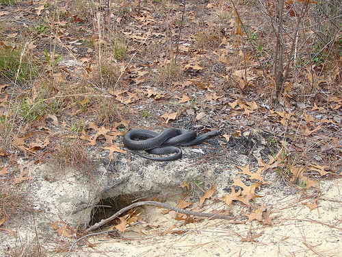 This large male Eastern indigo snake is more than five feet long and sits near a gopher tortoise burrow in southern Georgia. Photo by Dirk Stevenson, the Orianne Society (Used with permission).