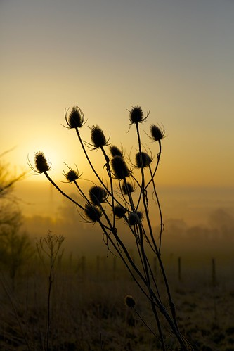 sun sunlight sunrise dawn alba thistle teasel sole teazle