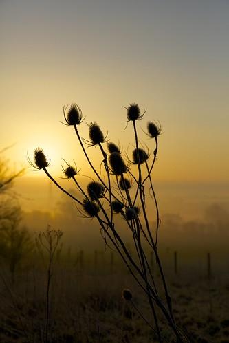sun sunlight sunrise dawn alba thistle teasel sole teazle