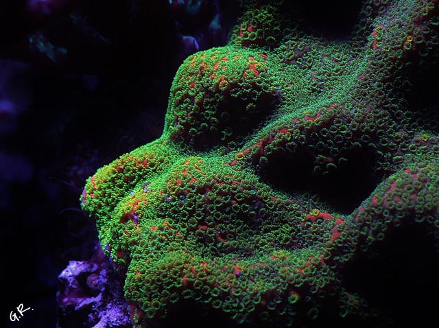 Tank breakdown sale.  Corals.  (closed) 12889920384_51bf874893_z