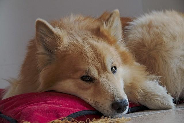 Собака, взгляд, подушка