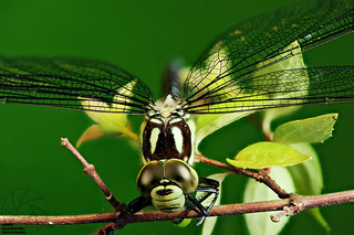 Yellow-Spotted Emerald post mortum
