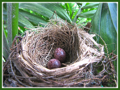 Newly-laid eggs of Pycnonotus goiavier (Yellow-vented Bulbul), March 27 2014