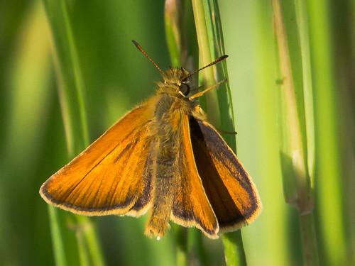 female butterfly schmetterling weibchen essexskipper eiablage thymelicuslineola schwarzkolbigerbraundickkopffalter eggdeposition achimermarsch