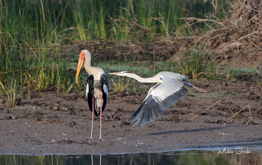 Painted Stork and Grey Heron