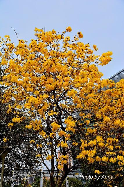 黃風鈴木4