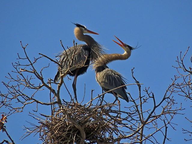 Great Blue Herons showing off breeding plumage