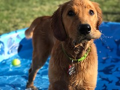 Wet puppy jowls are slower moving than a puppy head. #GoldenRetriever #Puppy