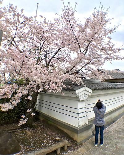 #桜 を撮る @tomo_konchan #🌸 #cherryblossom #flower #olloclip #wideangle