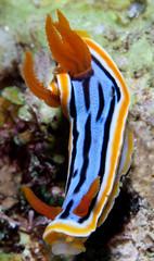 yellow, marine biology, invertebrate, macro photography, fauna, close-up, sea slug, underwater,