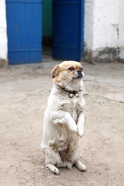 A posing dog in Kumul (Hami) ハミ、ポーズを取る犬