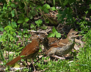 _BrownThrasher 3baby feeding 2041r