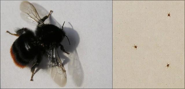 Bumble-bee mites