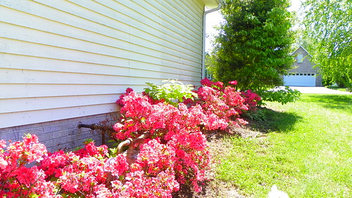 Azaleas on the Side