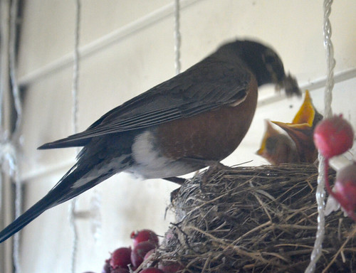 Mom feeding the baby robins
