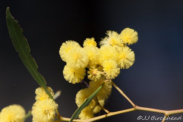 Golden Wattle Acacia pycnantha  July JB