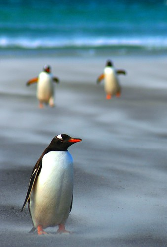 gentoo penguins, Falkland Islands by Eco-shout