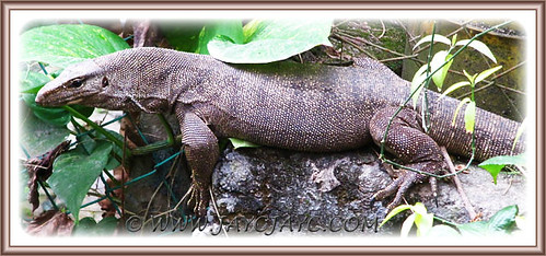 Close-up of a 5-ft long monitor lizard (Varanus bengalensis), Aug 10 2013