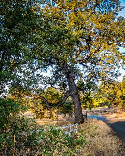 morning tree fence oak highdynamicrange grassvalley sdosremedios size5x4 ©stevendosremedios polarisroad