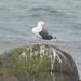 Small photo of Havstrut / Great Black-backed Gull