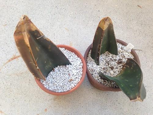 Gaseteria excelsa leaf propagation