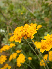 Asteraceae - Eriophyllum confertiflorum var. confertiflorum - GOLDEN or YELLOW-YARROW SA