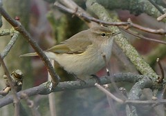 Siberian Chiffchaff  Barrow Sewage works, Leicestershire 22/11/13 by davidearlgray