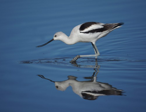 American Avocet by Mike's Birds