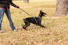animal, dog, dobermann, pet, mammal, guard dog, pinscher,