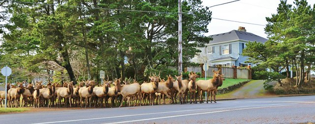 elk on Main Street