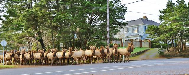 elk on Main Street