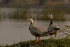 Bar-headed Geese | Anser indicus | Magadi lake