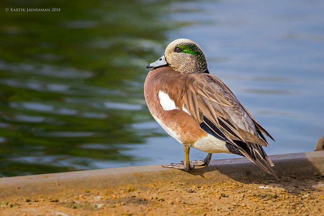 Drake American Wigeon