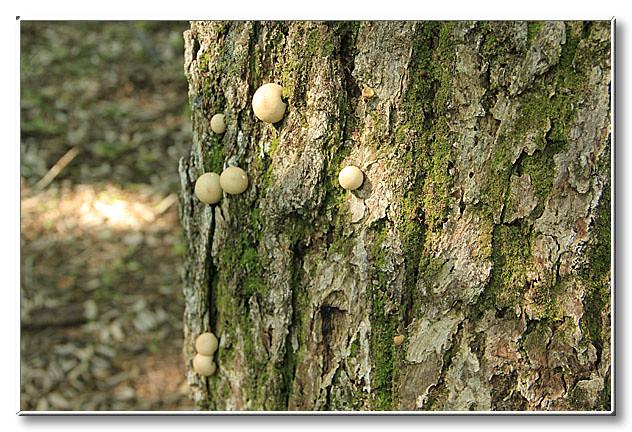 木の幹に生えていたキノコ.このキノコの名前は?