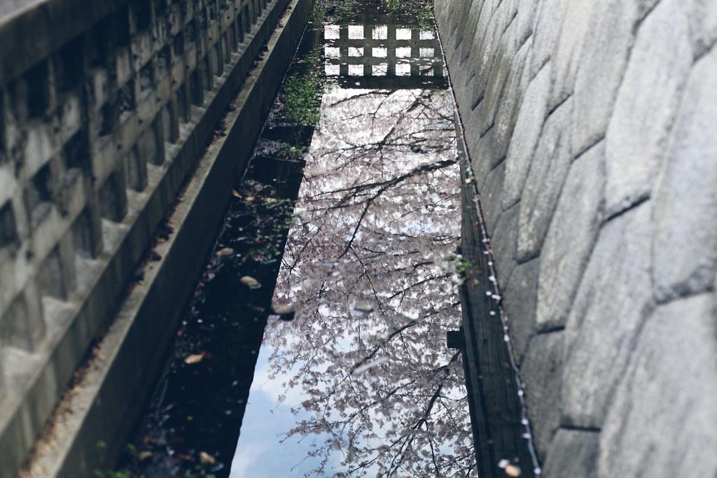 sakura_6814