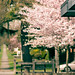 Vancouver Streets with Cherry Blossoms in Spring