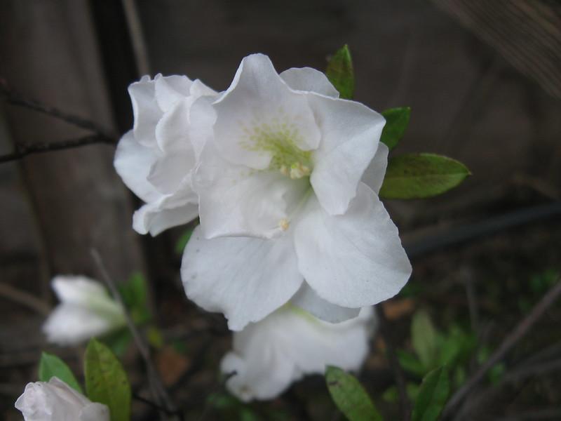 white azalea 2014