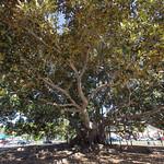 Moreton Bay Fig Tree, Balboa Park