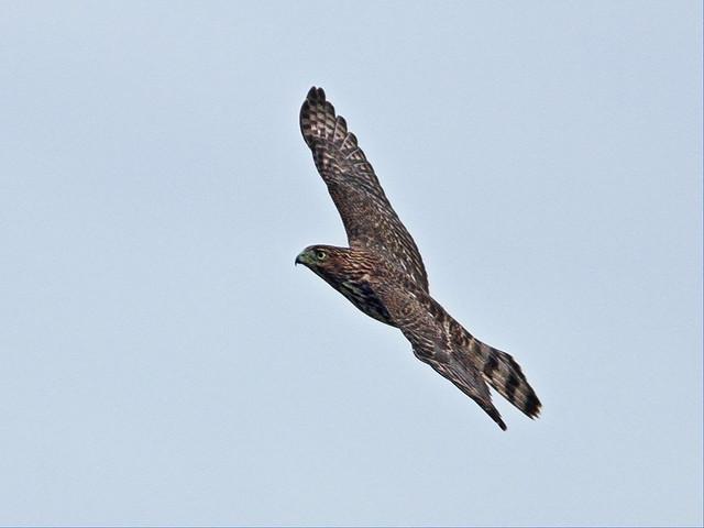 Cooper's Hawk 05-20150802