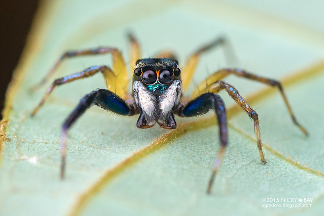 Jumping spider (Salticidae) - DSC_4780