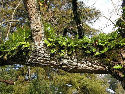 攝於葡萄牙,溫帶區域頗為罕見的維管束附生植物。圖片攝影:徐嘉君。